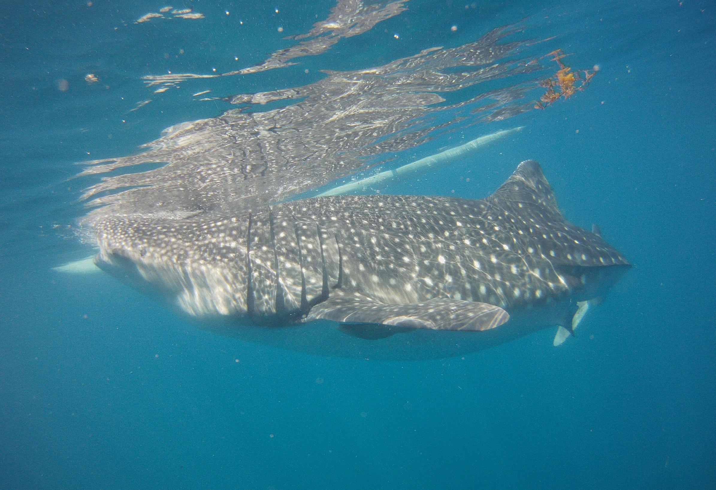 Oslob-whale-shark-7