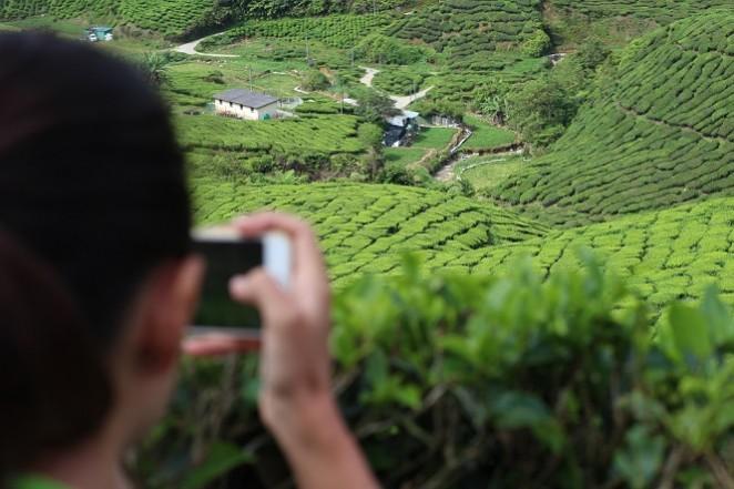 Камерон Хайлендс, чайные плантации Малайзии