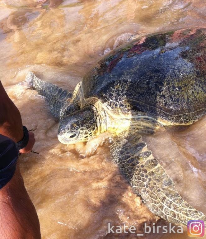 Знаменитые 100-летние черепахи в Хиккадуве