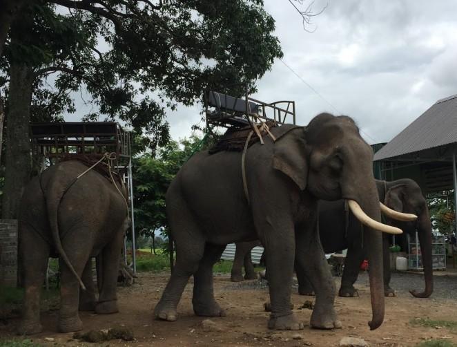 Слоны в Дак Лаке, Вьетнам