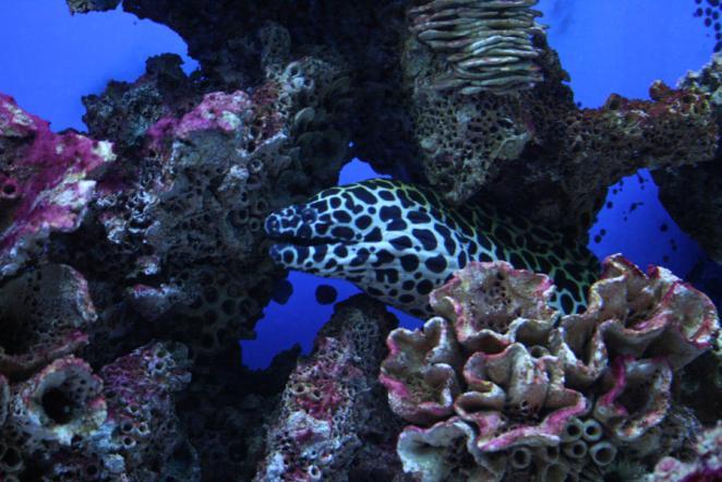 Мурена в коралле