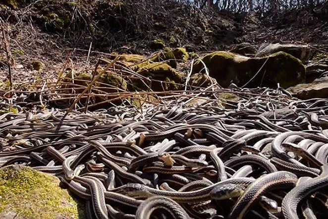 Остров змей, Бразилия