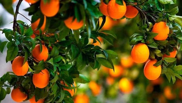 Апельсиновые сады на Кипре
